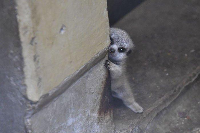 Японский фотограф запечатлел стеснительного малыша суриката и его семью